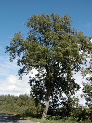 Köpa Ask (Fraxinus excelsior)